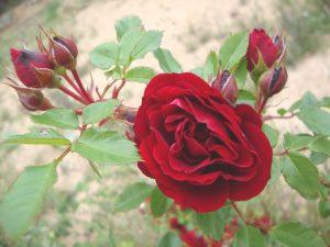 Die Rose, als Zeichen der Liebe